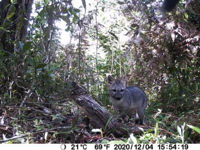 5 zorros envenenados en San Vicente Ferrer